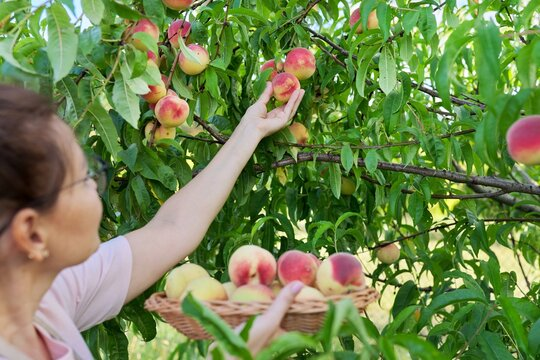 Woman gardener picking ripe peaches from tree in basket