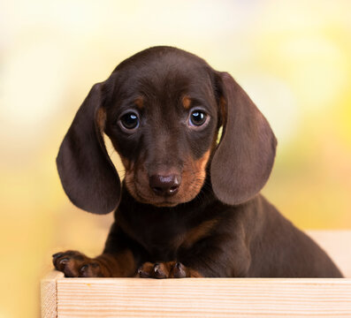 dog dachshund brovn and tan color portrait