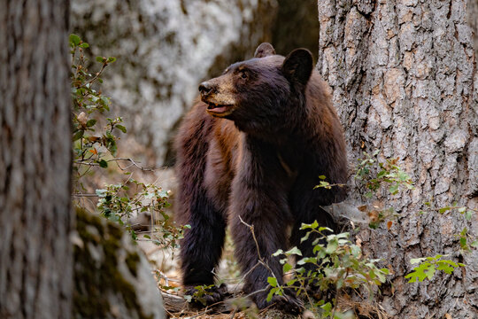 Wild bear next to a tree in Yosemite, National Parc, California
