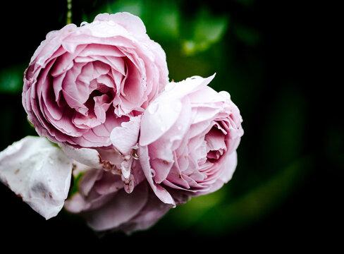 Rosen als Hintergrund mit Freiraum