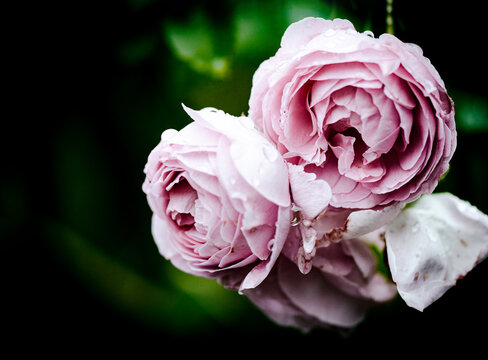 Rosen pastell mit Platz für Text