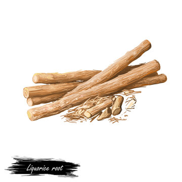 Liquorice root isolated dried sticks isolated digital art illustration. Licorice Glycyrrhiza glabra, sweet root, aromatic flavouring can be extracted. Herb with adverse effect, medical remedy plant.