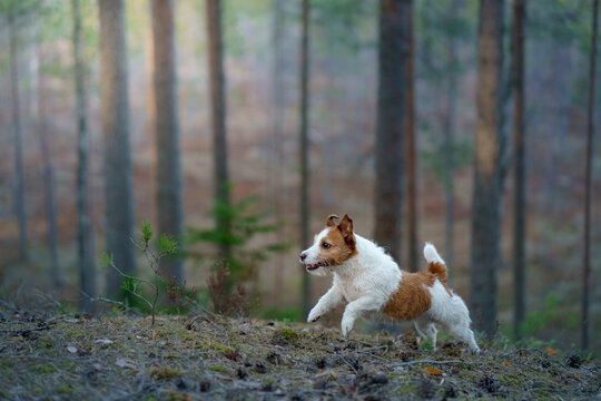 dog in the forest. Jack Russell Terrier walks on nature