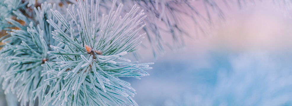 Winter panorama of pine branches with snow and frost on a light background for decorative design