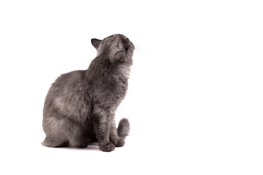 From the back of fluffy gray Persian kitten cat is looking up and curious aware of stranger things around on white backgrounds.