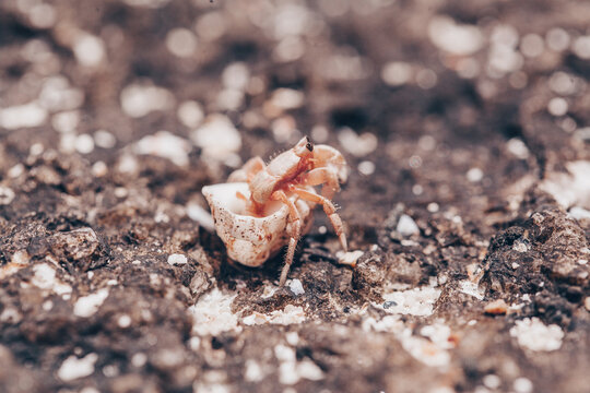 close up of small hermit crabs walking on sand covered volcanic rock in a beach in Costa Rica