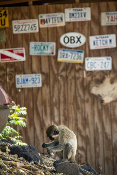 A monkey plays with something in front of a wood wall covered in license plates from around the world