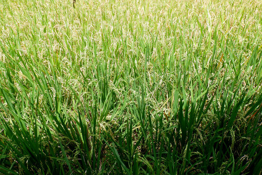 A portrait of a rice field in the morning