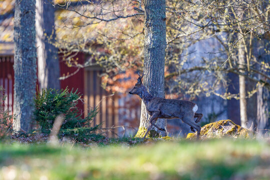 Roe deer walking in the woodlands with a red house in the backgrounds