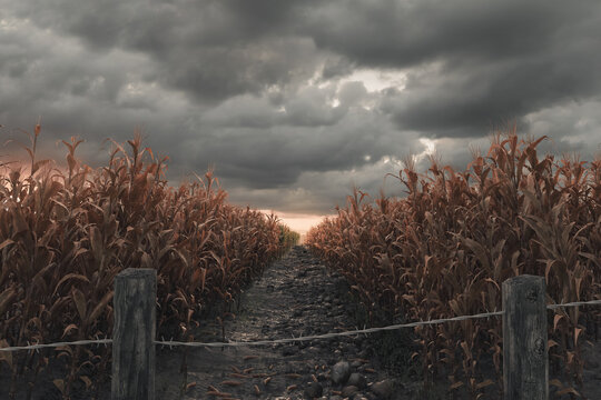 3d Rendering of pathway in the middle of withered cornfield in front of dramatic sky