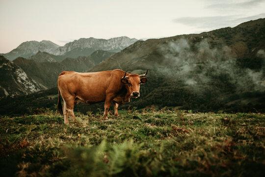 Brown cow pasturing in a meadow at Picos de Europa in Asturias, Spain.