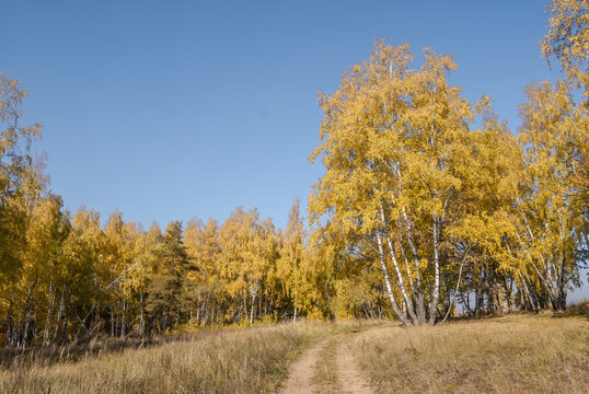 Golden fall. Silver Birch (Betula pendula) in deciduous forest in Central Russia