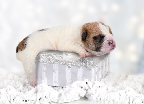 Small newborn English bulldog puppy sleeping on a gift box