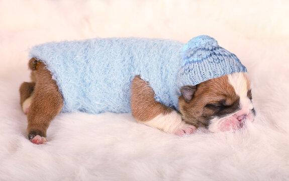 Cute newborn English bulldog puppy sleeping on a fur carpet
