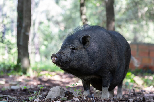 Vietnamese Pot-bellied pig on the farm