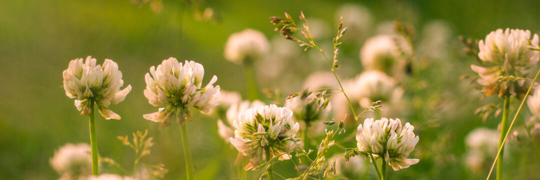 Trifolium pratense, the white clover in the meadow. White-flowered clover and Poa annua, or annual meadow grass on the lawn in summer sunlight. Web banner.