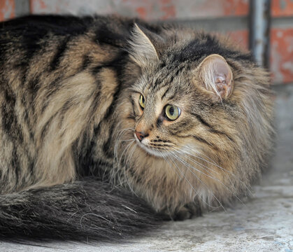 beautiful fluffy Brown tabby cat sitting