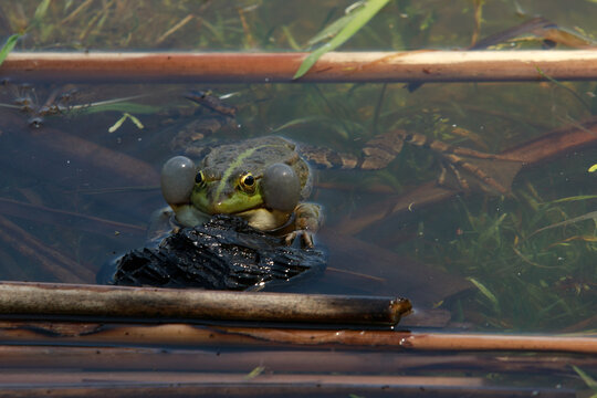 toad in the lake, very realistic, the toad makes eye contact a