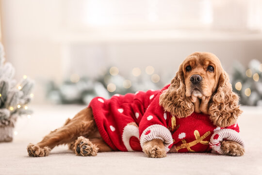 Adorable Cocker Spaniel in Christmas sweater on blurred background