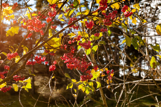 sunlight on the red fruits of an european spindle shrub