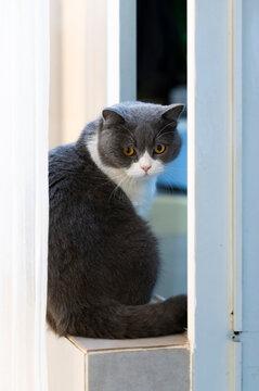 British shorthair cat sitting on the windowsill