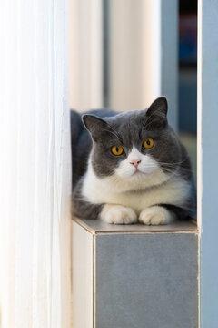 Cute British Shorthair lying on the windowsill