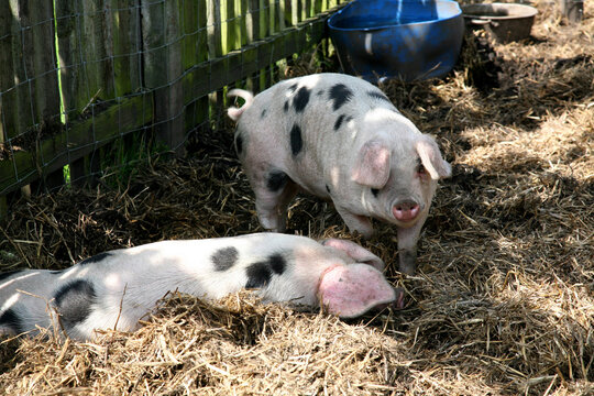 A pair of piglet twins with black spots and floppy ears in a natural setting