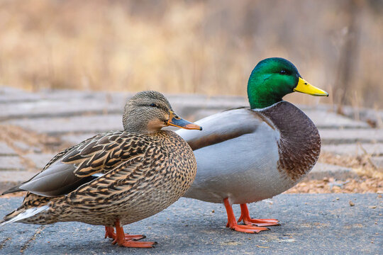 Male and female mallards are playing in a sunny day