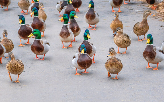 A team of male and female mallards are walking together on a road