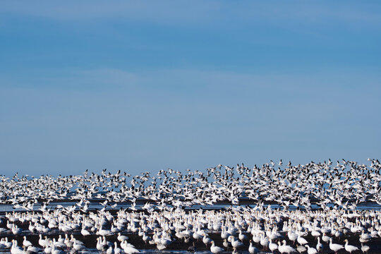 Big flock of Snow geese flying in the air.     Richmond BC Canada