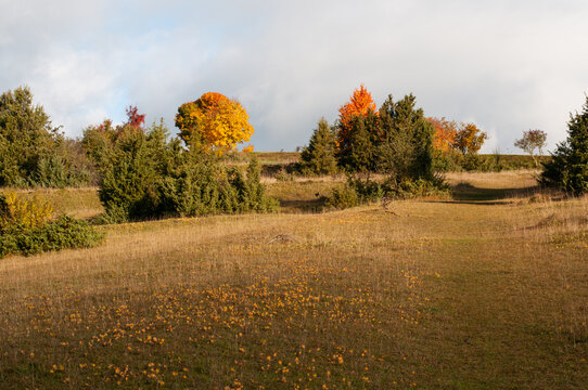 a juniper heath land with yellow leaves of cypress spurges