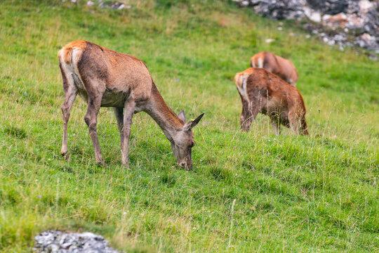 Cerbiatti nel parco naturale di Puez-Odle, Trentino Alto Adige, Italia