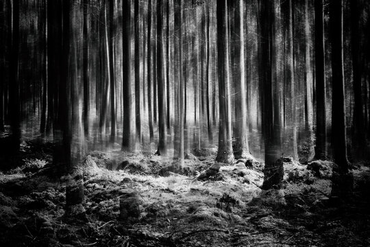 Forest in black and white.