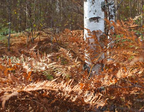 Autumn colors on ferns.
