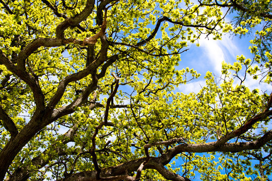 Spring sky through the branches of a tree.