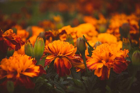 Orange tagetes