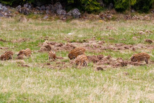 Many wild boar piglets in the grass