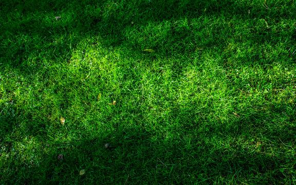 Grass growing in the garden. Freshly cut grass.
