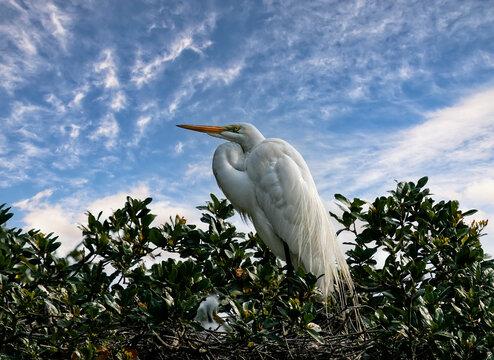 Great White Egret in Nest