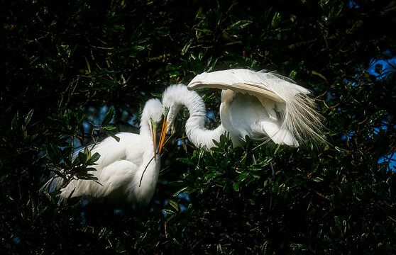 Two Great White Egrets in the Swamp of Florida