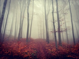 Beech trees in beautiful forest on foggy autumn morning