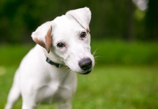 A curious Jack Russell Terrier dog listening with a head tilt