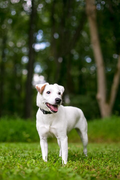 A cute Jack Russell Terrier dog with a happy expression standing outdoors