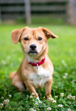 A cute brown mixed breed dog with floppy ears, wearing a red collar and sitting outdoors surrounded by white clover