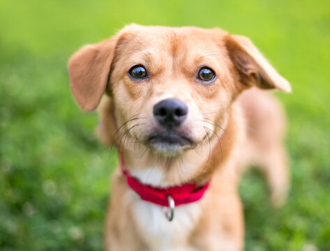 A cute brown mixed breed dog with floppy ears, wearing a red collar