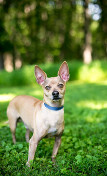 A Chihuahua dog with large ears standing outdoors and looking at the camera