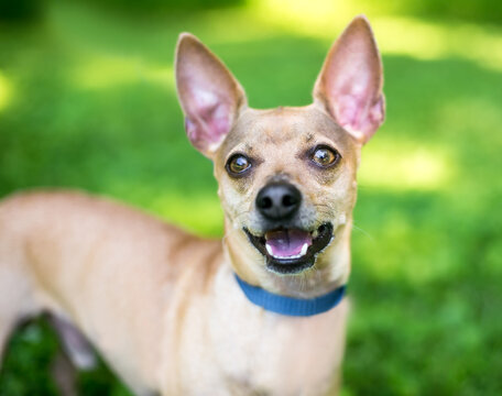 A happy Chihuahua dog with large ears standing outdoors