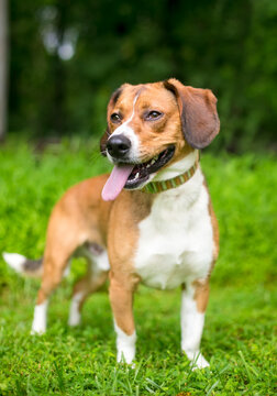 A Beagle mixed breed dog standing outdoors and panting