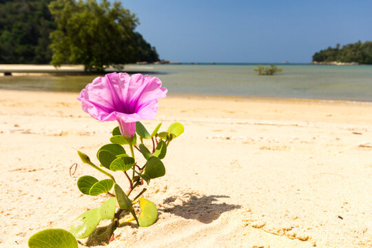 Blooming Ipomoea flower or Beach morning glory, Layan beach, Phuket, Thailand