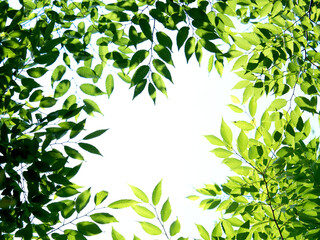 Fototapete - 新緑 木漏れ日にかがやくケヤキの葉
